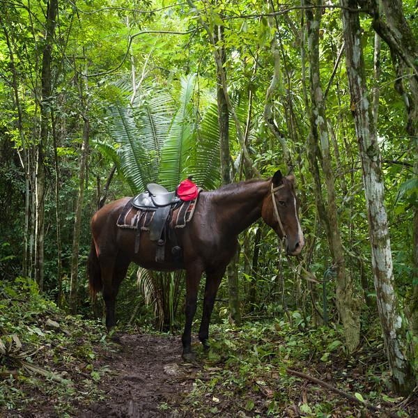 Horse in forest, Chaa Creek Road, Chaa Creek Nature Reserve, San Ignacio, Belize