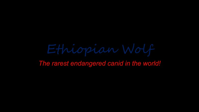 Ethiopian wolf - the rarest endangered canid in the world!