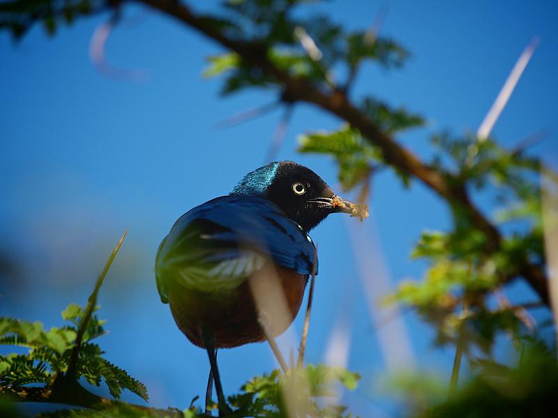 Et klart blikk. Mulig det er en blå veverfugl, men jeg vet ikke. Lake Naivasha, oktober 2007. *** I firm look. Possibly a blue weaver by Lake Naivasha, October 2007. (Foto: Geir)