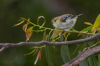 Forty-spotted Pardalote (Pardalotus quadragintus) EN