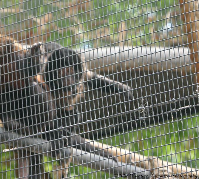 crested capuchin8.jpg
