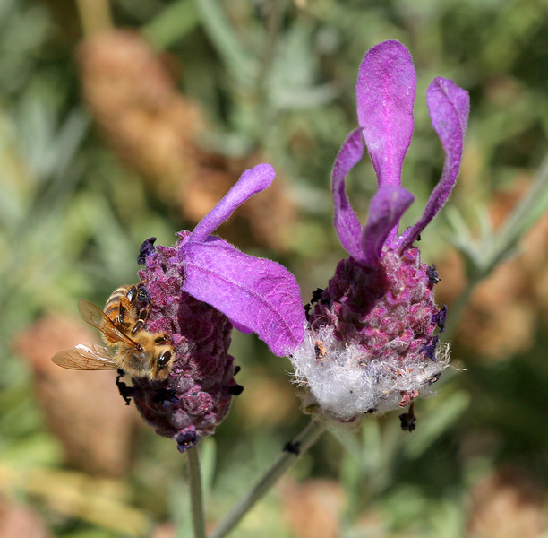 2456 Bee on Blossom.jpg