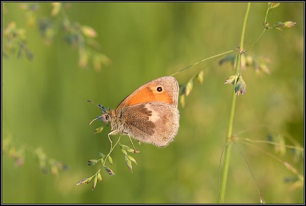 Hooibeestje/Small Heath