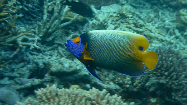 Blue-faced Angelfish, Pomacanthus xanthometopon