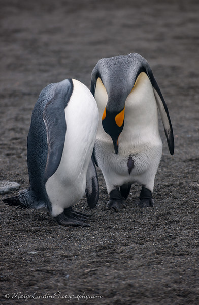 Antarctic-121