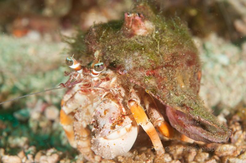 hermit-crab-malapascua.jpg