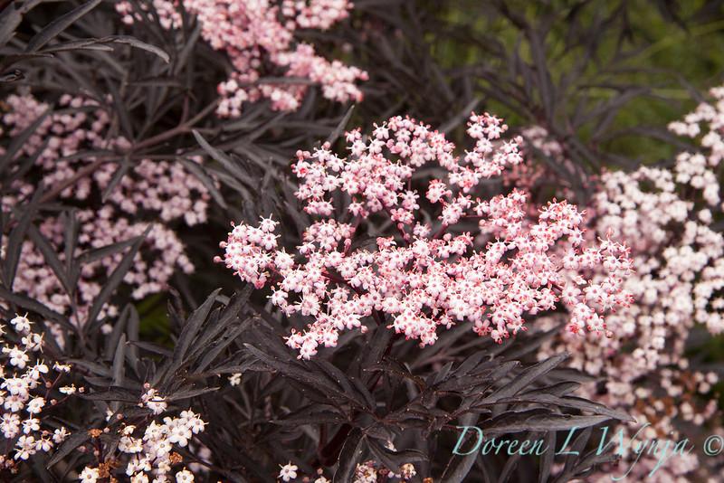 Sambucus nigra Black Lace_004.jpg