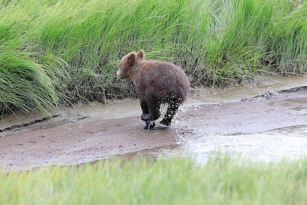 Spring Cubs Alaska 2017