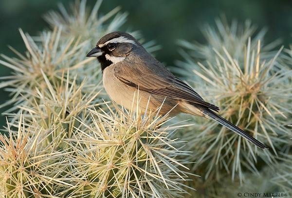 Arizona Birds
