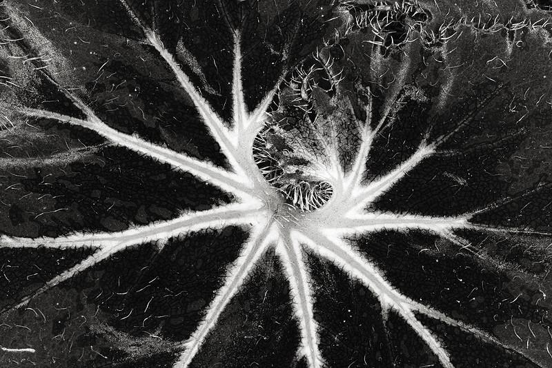 rex begonia leaf
