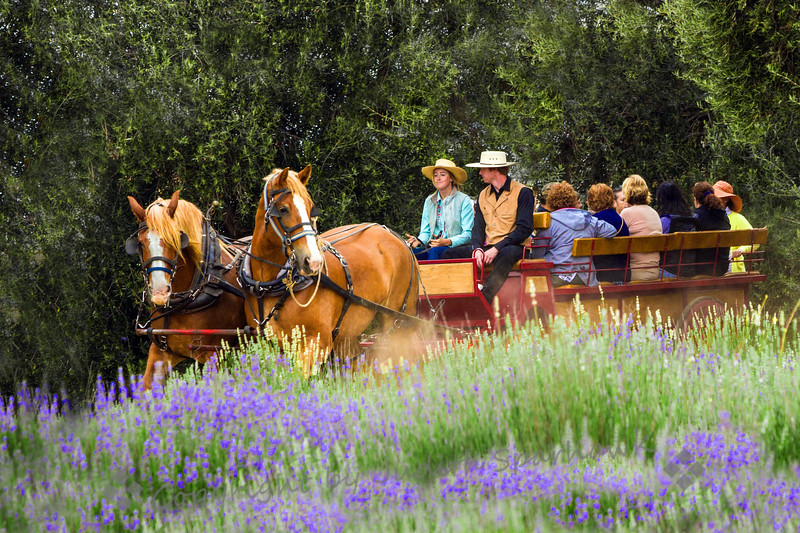 Horse-Drawn Wagon in the Lavender Fields
