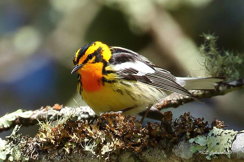 Blackburnian Warbler - Blue Ridge Parkway, Haywood County, NC