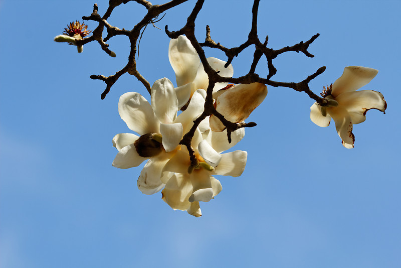 Yulan magnolia (Magnolia denudata)