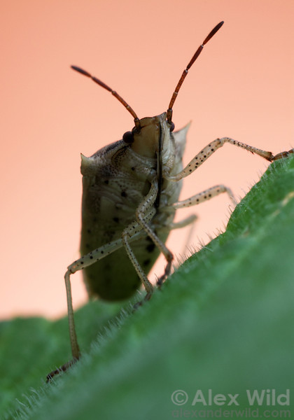 Oebalus pugnax - the rice stink bug (Pentatomidae).  Urbana, Illinois, USA