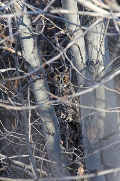 Long eared owl in Owyhee, Idaho