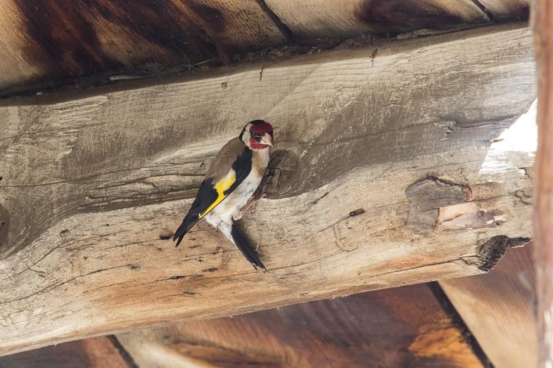 putter, goldfinch