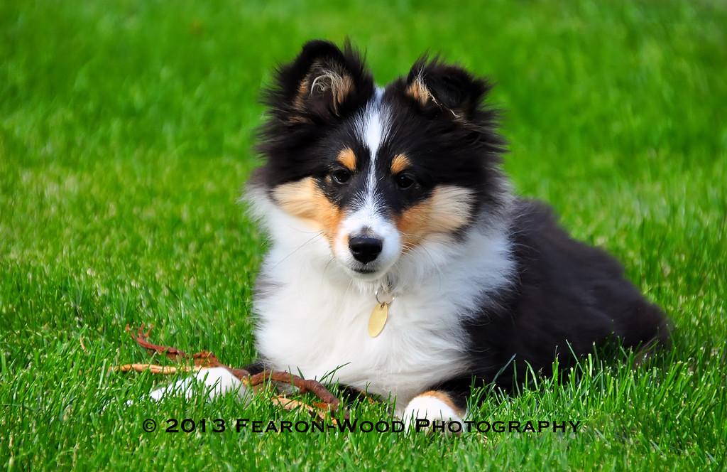 Shetland sheepdog pup
