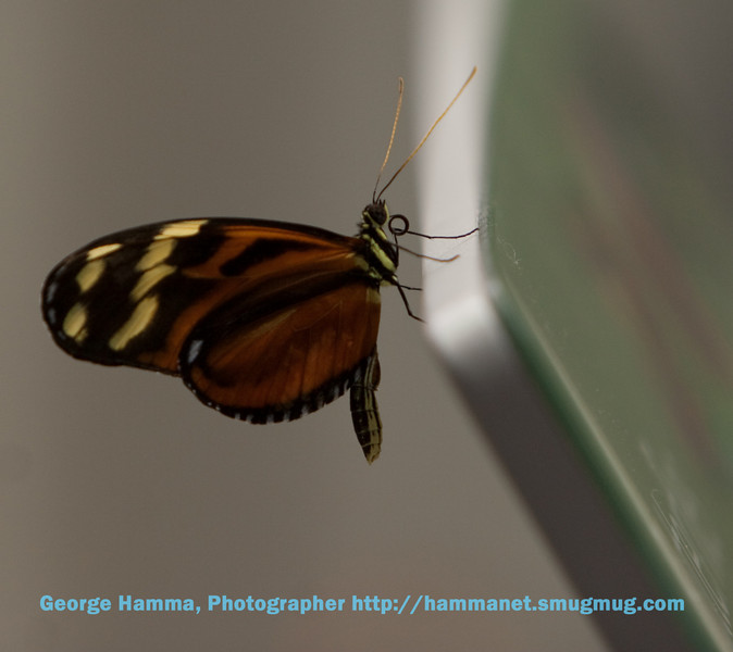 An isabella longwing at the top of the rainforest.