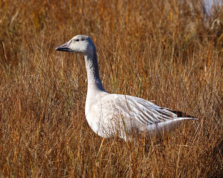 young snow goose plum island 2020.jpg