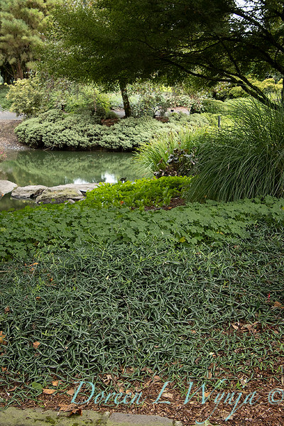 Euonymus fortunei 'Wolong Ghost' landscape_2574.jpg