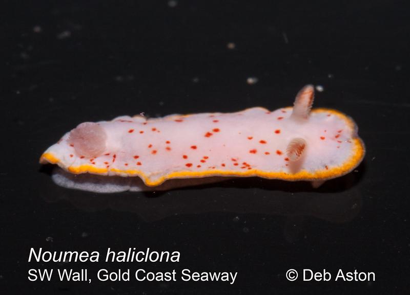 Verconia haliclona