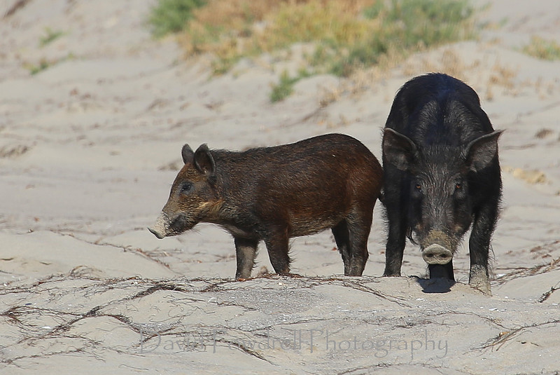 Mama boar and baby