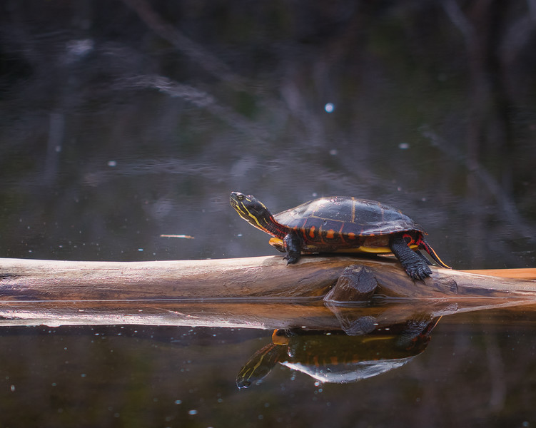 Painted Turtle Sunning on a Log