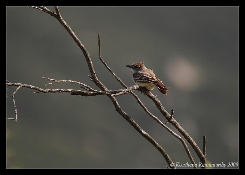 Ash-throated Flycatcher, Kumeyaay Lake, Mission Trails Regional Park, San Diego County, California, March 2009