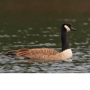 Geese-Swan