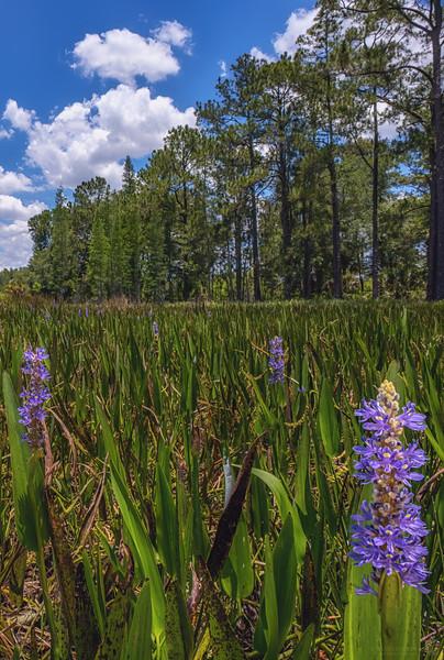 Wetland full of pickerelweed