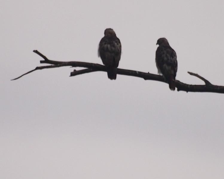 hawk couple.jpg