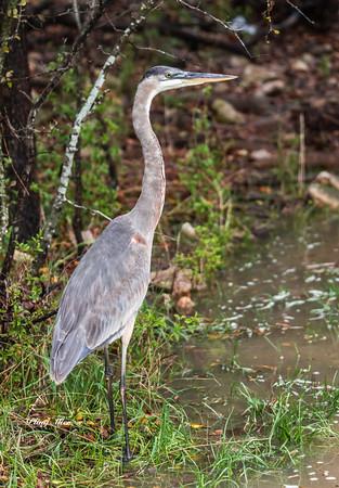 Great Blue Heron_DWL2676.jpg