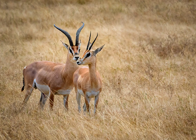 Grant's Gazelles of Tanzania