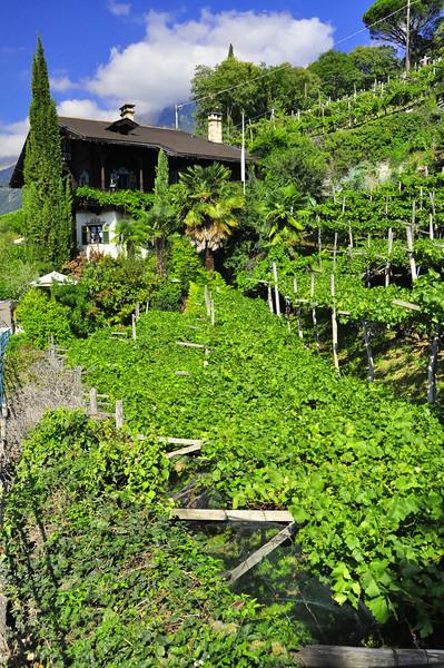 tiny vineyard in the hills above Merano