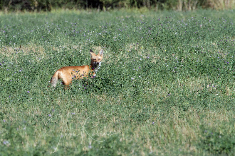I'm four for four with this Red Fox. He/she always shows up!