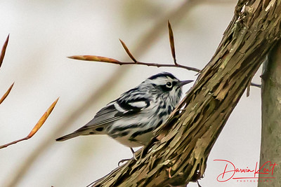 Black and White Warblers