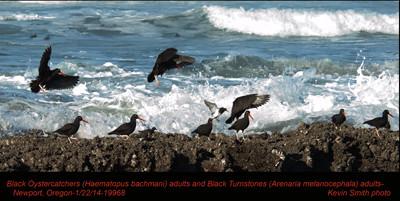 BlackOystercatchersA&BlackTurnstonesA19968.jpg