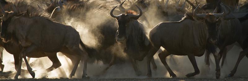 Wildebeest stampede, Kalahari Desert