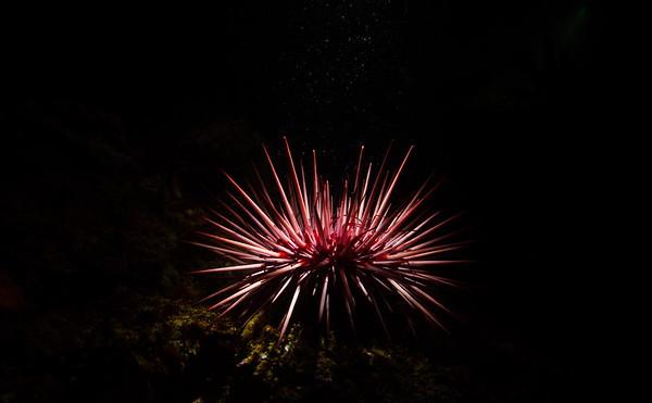 Strongylocentrotus purpuratus (purple sea urchin)