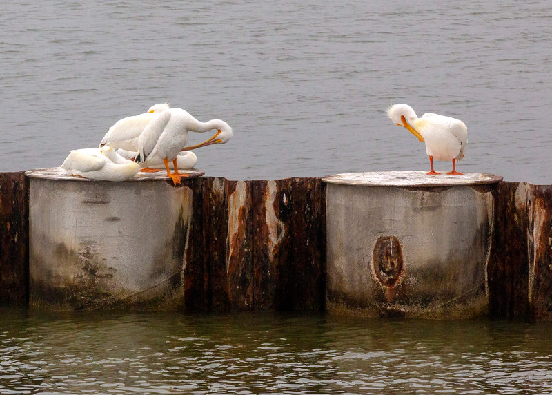 4 White Pelicans trying to look nice for the tourists