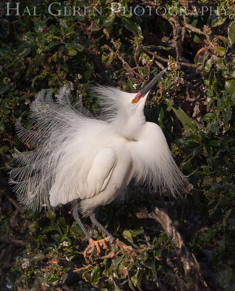 Snowy Egret male flaunts it Newark, California 1304N-SE9