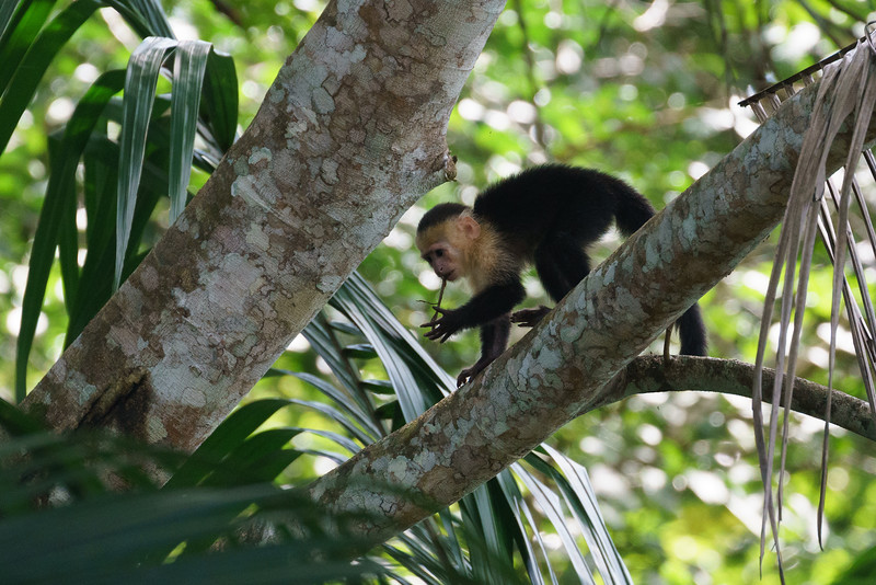 White-headed capuchin monkey