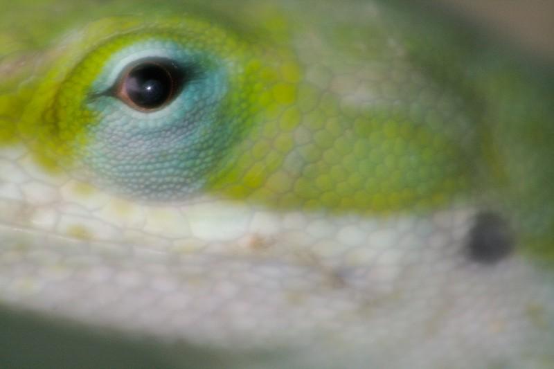 Green Anole eye Krenmueller Farms LRGV TX IMG_0142.jpg