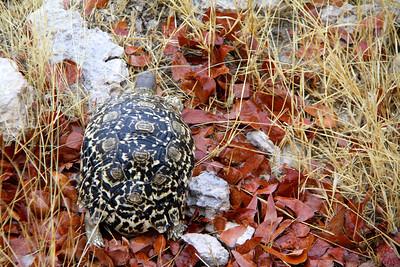 leopard turtle in Etosha National Park, Namibia