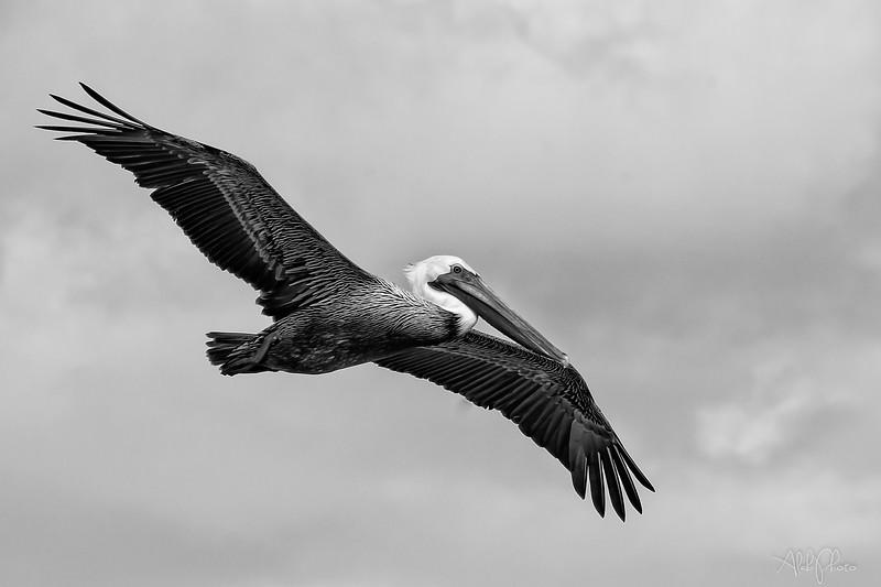 Pelican_17
