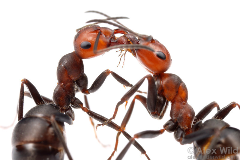 Formica obscuripes nestmate workers engaging in trophallaxis, or the social sharing of liquid food.