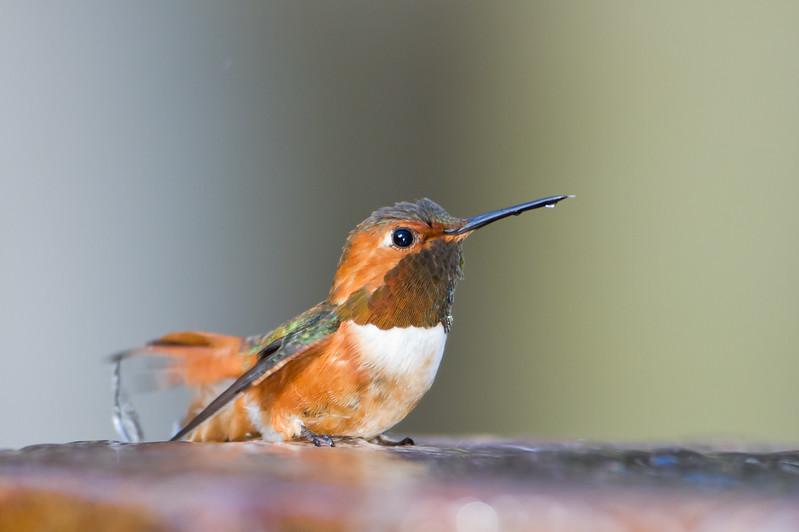 Allen's Hummingbird - Coyote Hills Regional Park, Fremont, CA