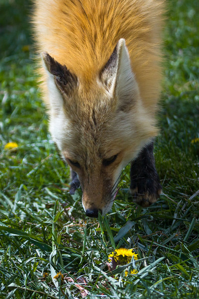 Foxes I