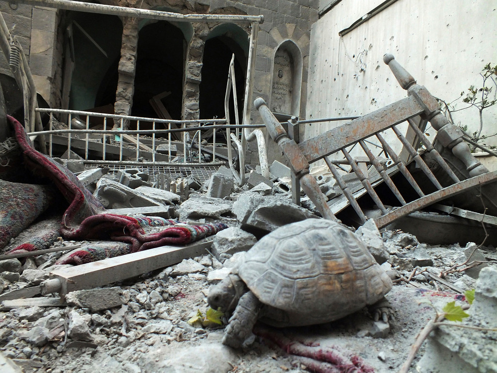 . An abandoned pet tortoise walks on the debris of a damaged house in the neighborhood of old Homs September 9, 2012. REUTERS/ Yazen Homsy