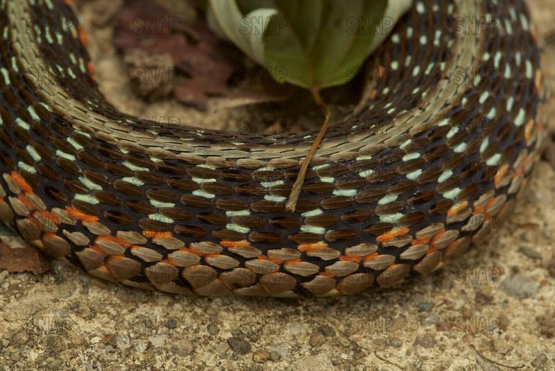 Eastern Garter Snake, Common Snake (Thamnophis sirtalis sirtalis)